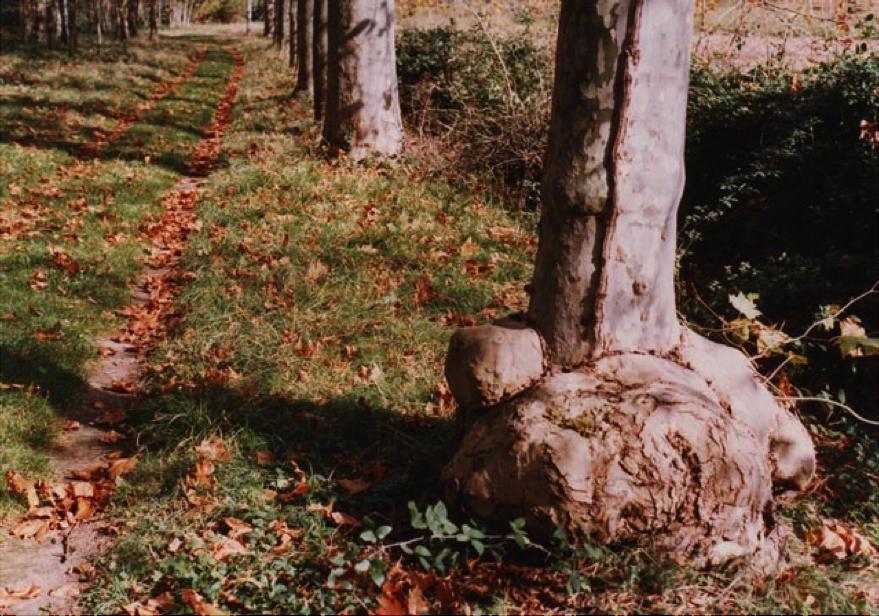 Le renflement de l'arbre que Pierre était censé utiliser comme banc.